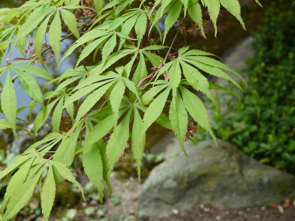 Acer palmatum Thunb. ex Murray 'Aureum'
