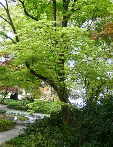 Acer palmatum Thunb. ex Murray 'Reticulatum'