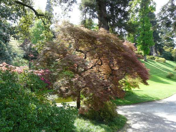Acer palmatum Thunb. ex Murray 'Pink Filigree' cf.