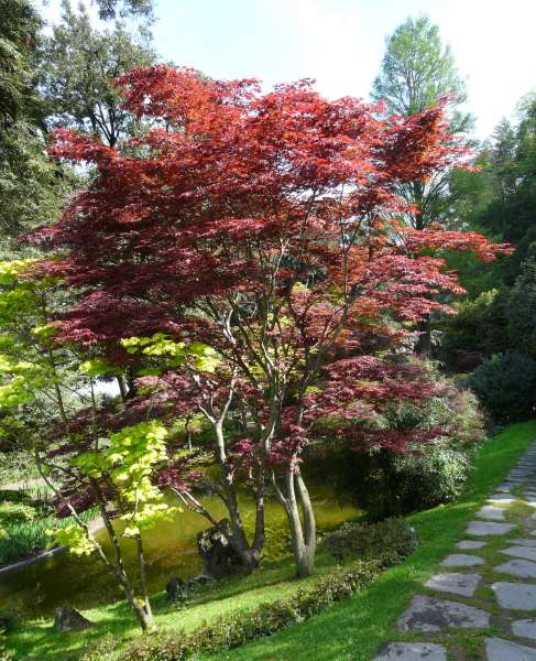 Acer palmatum Thunb. ex Murray 'Fire Glow' cf.