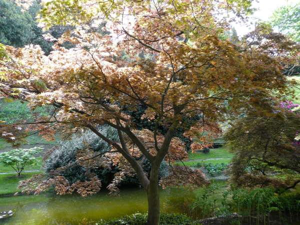 Acer palmatum Thunb. ex Murray 'Kinran' cf.