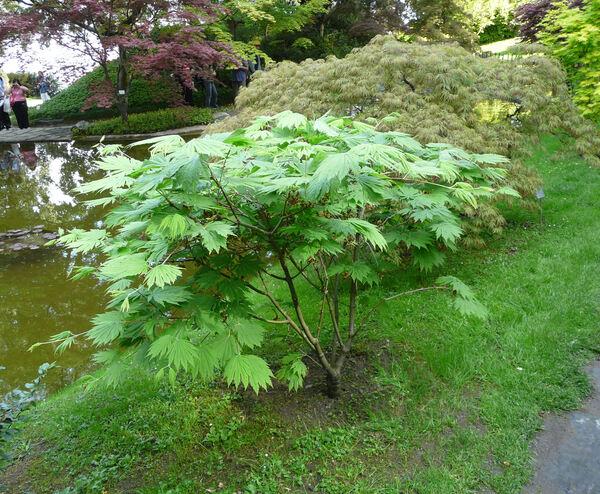 Acer japonicum Murray 'Aconitifolium'