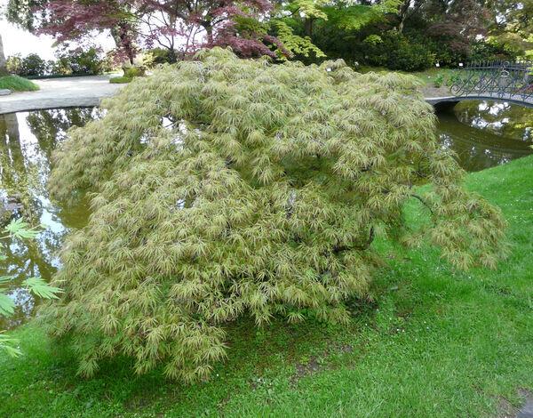 Acer palmatum Thunb. ex Murray 'Dissectum Viride' cf.