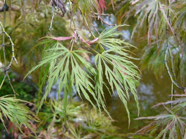 Acer palmatum Thunb. ex Murray 'Rubrifolium'