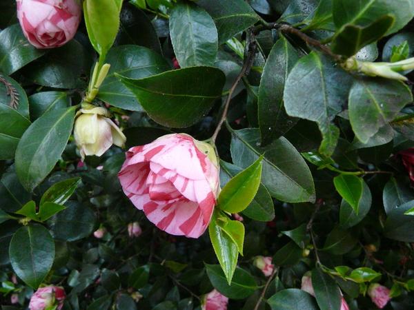 Camellia japonica L. 'Contessa Lavinia Maggi'