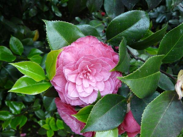 Camellia japonica L. 'Il Tramonto'