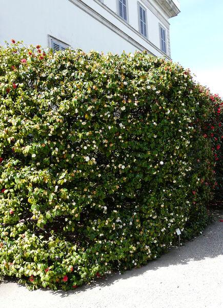 Camellia japonica L. 'Nobilissima'