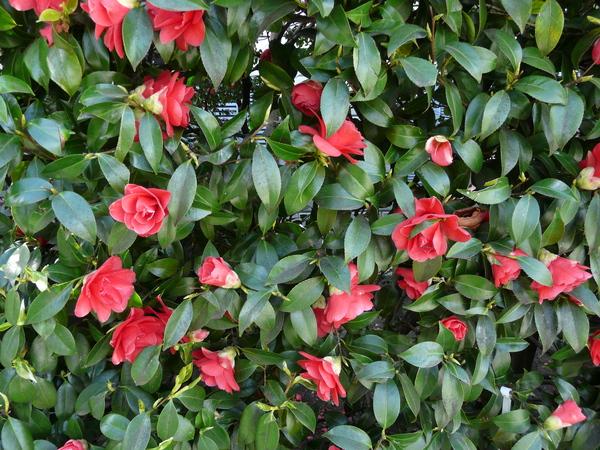 Camellia japonica L. 'Aspasia'
