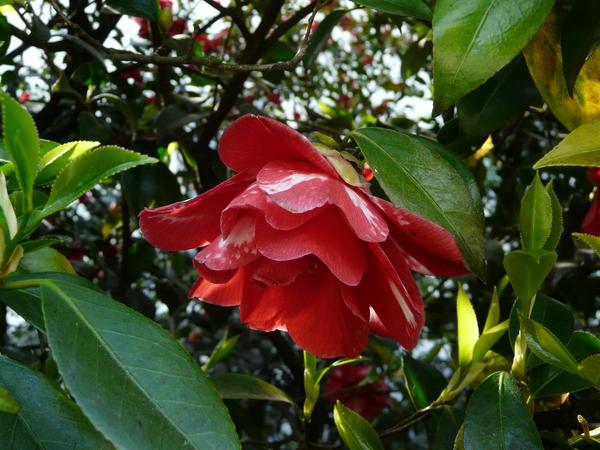 Camellia japonica L. 'Doncklaeri'