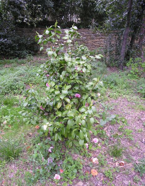 Camellia japonica L. 'Debutante'