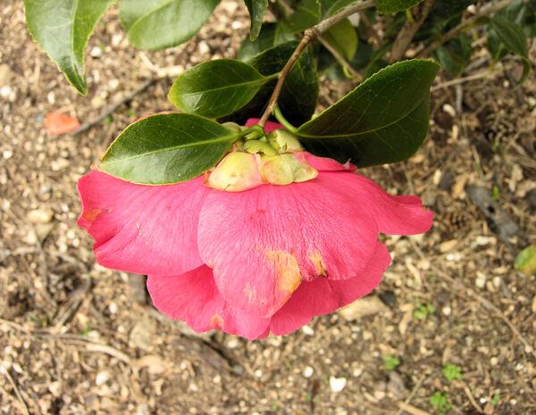 Camellia japonica L. 'Kramer's Supreme'