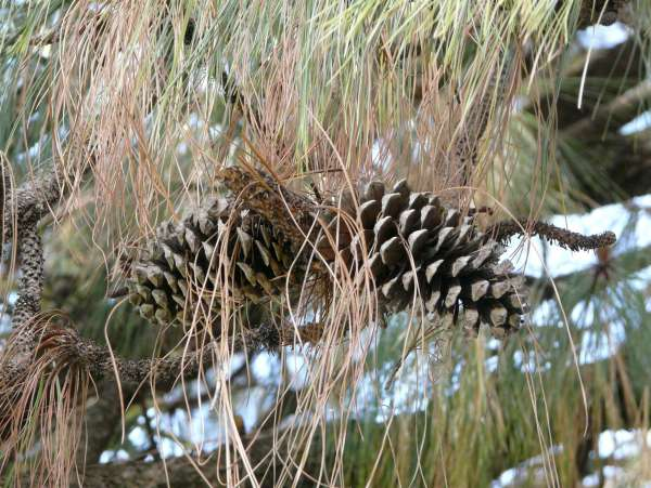 Pinus montezumae Lamb.