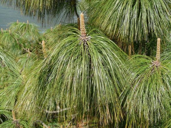 Pinus devoniana Lindl.