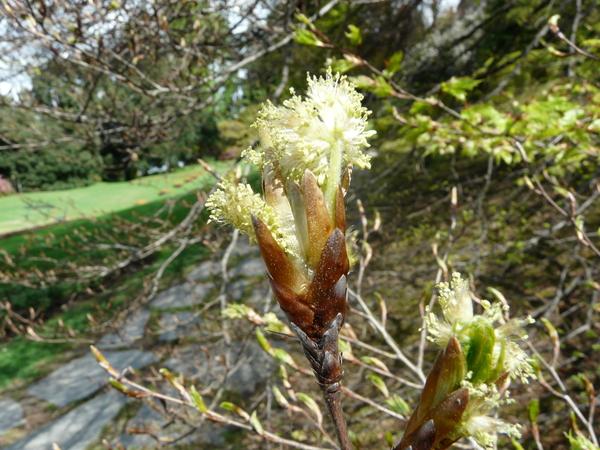 Fagus sylvatica L. 'Aspleniifolia'