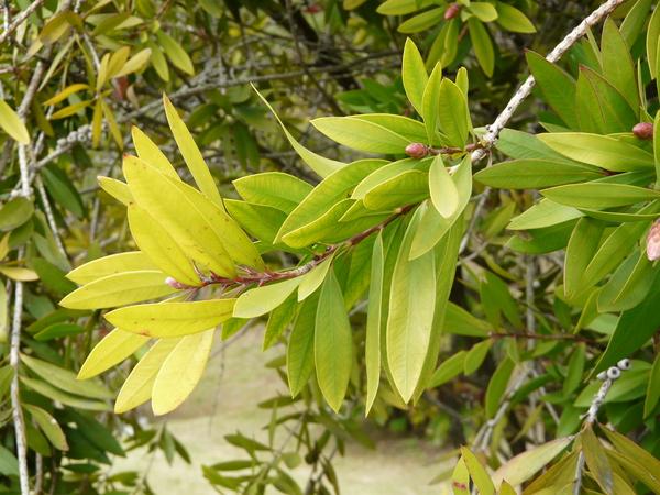 Callistemon lanceolatum DC.
