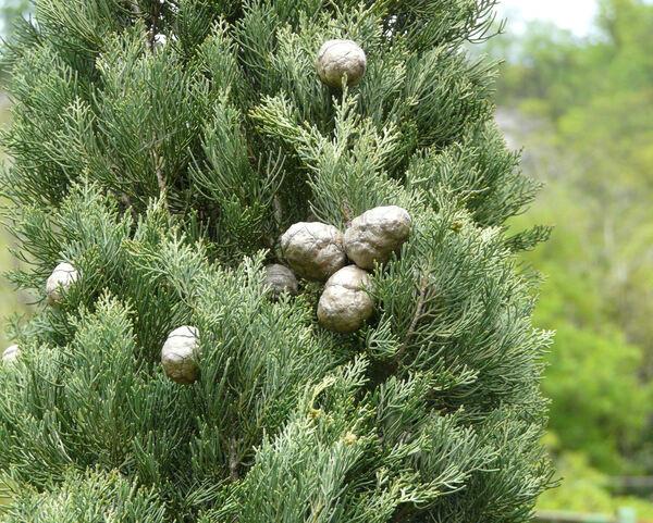 Cupressus sempervirens L. 'Bolgheri'