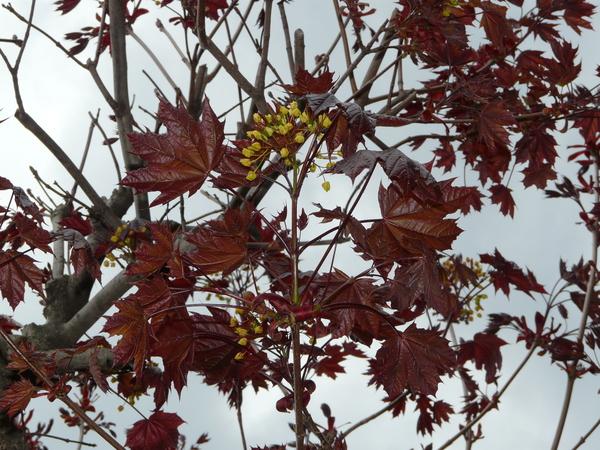 Acer platanoides L. 'Crimson King'