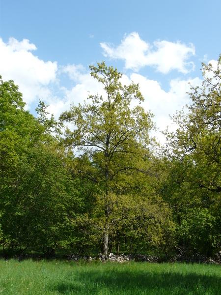 Quercus pubescens Willd. subsp. pubescens