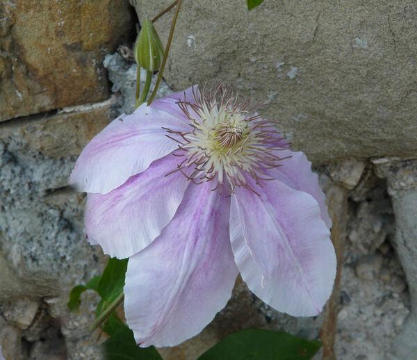 Clematis patens C.Morren & Decne. 'Bees Jubilee'
