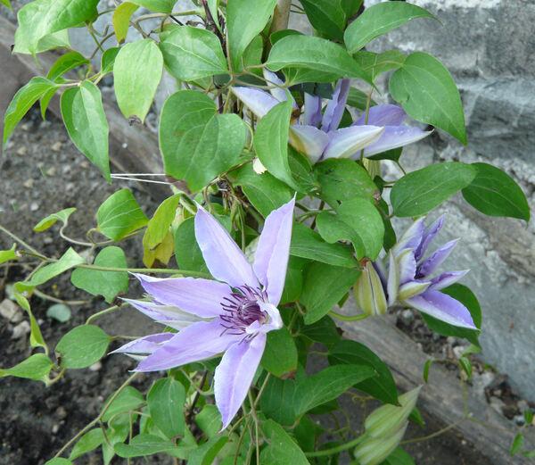 Clematis patens C.Morren & Decne. 'Blue Ravine'