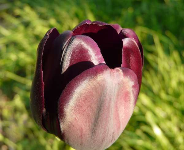 Tulipa 'Queen of Night'