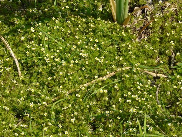 Ranunculus circinatus Sibth.