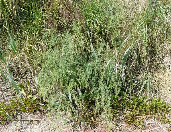 Asparagus maritimus (L.) Mill.