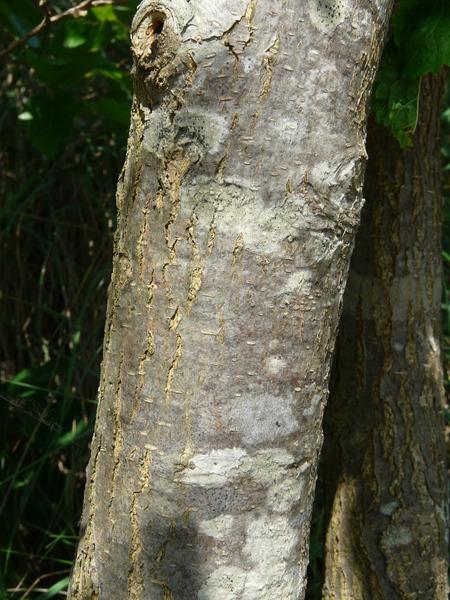 Morus alba L.