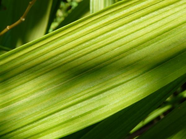 Bletilla striata (Thunb.) Rchb.f.