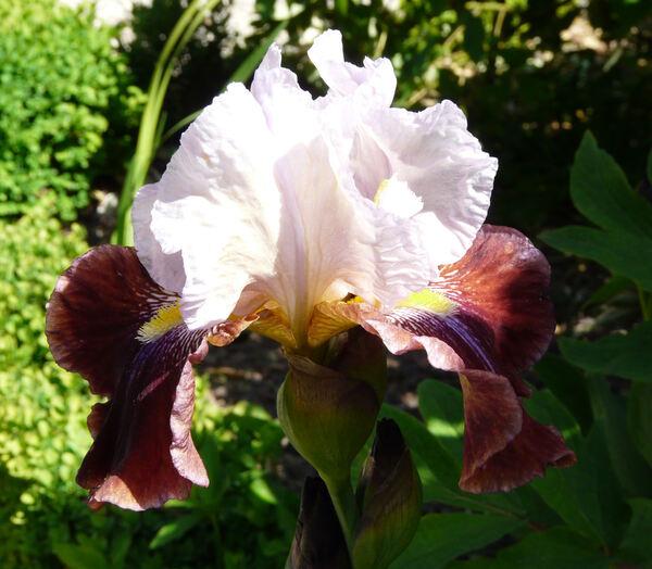 Iris 'Boisterous'