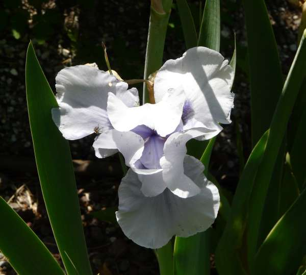 Iris 'Bluebeard's Ghost'