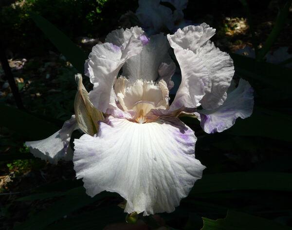 Iris 'Zia Ida'