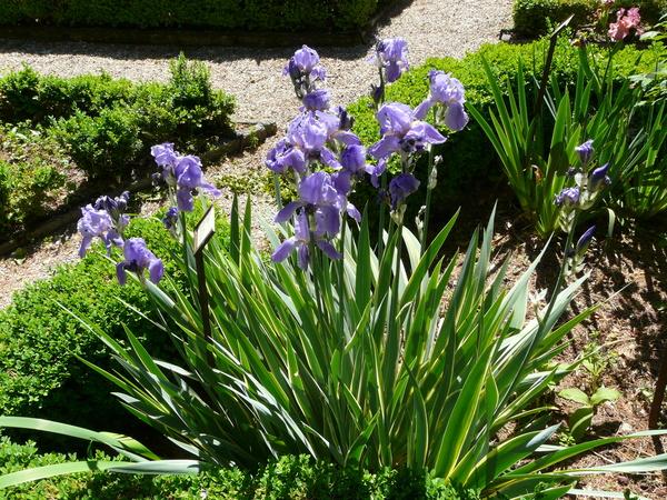 Iris cengialti Ambrosi ex A. Kern. 'Variegata'