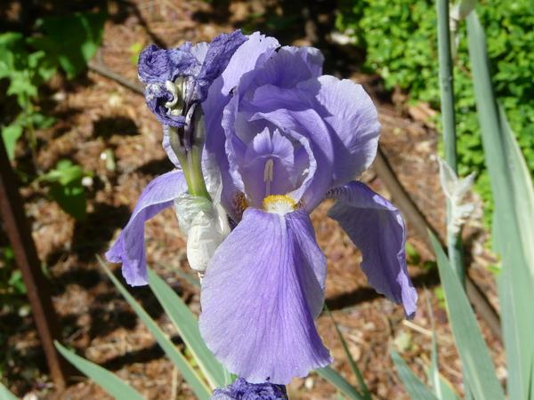 Iris cengialti Ambrosi ex A.Kern.