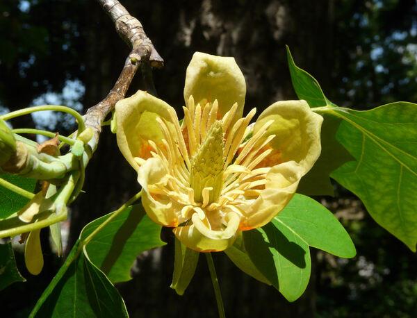 Liriodendron tulipifera L.