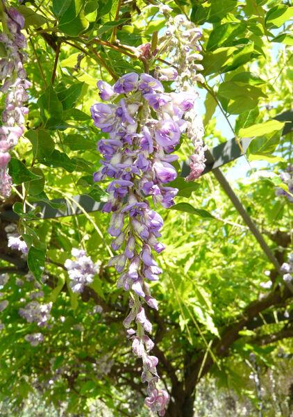 Wisteria frutescens (L.) Poir.