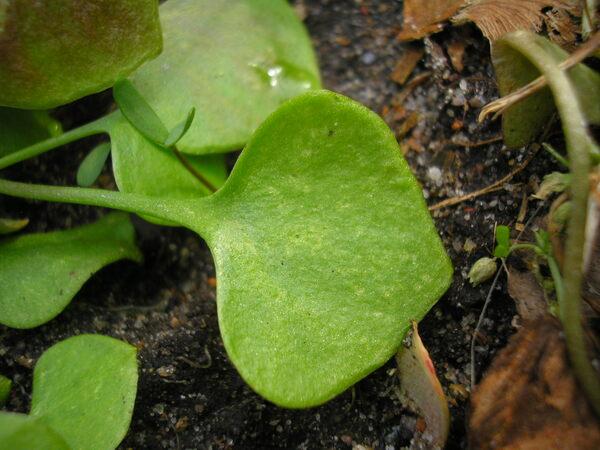 Claytonia perfoliata Donn ex Willd.