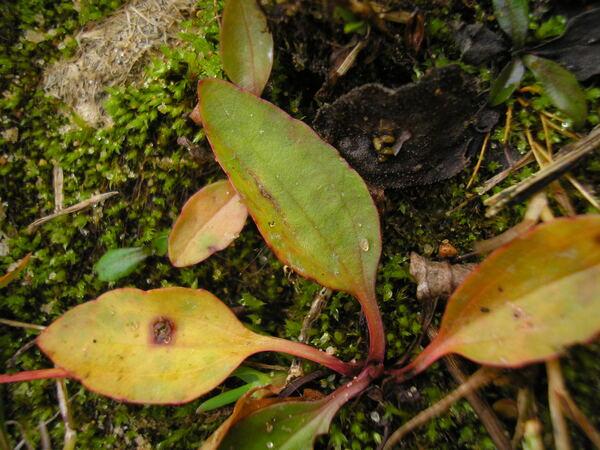 Plantago major L. subsp. pleiosperma Pilg.