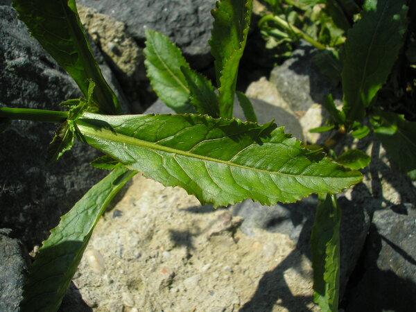 Rorippa amphibia (L.) Besser