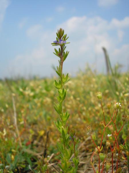 Veronica verna L. subsp. verna