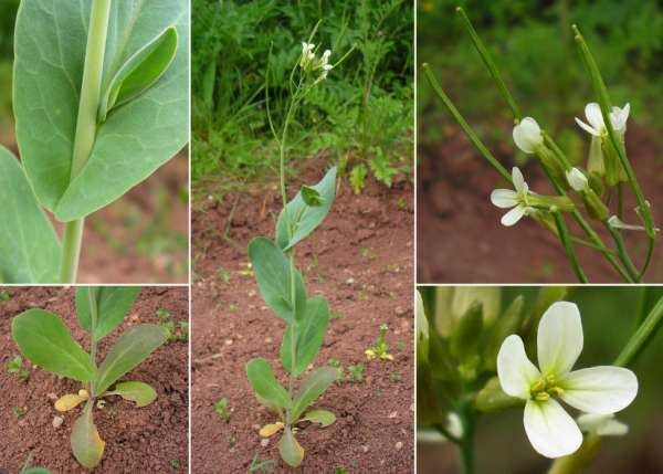 Conringia orientalis (L.) Andrz. ex DC.