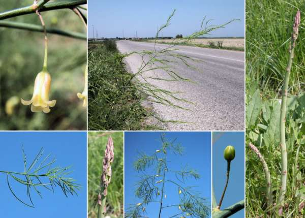 Asparagus officinalis L. subsp. officinalis