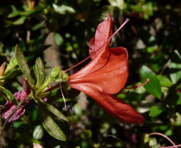 Rhododendron indicum (L.) Sweet