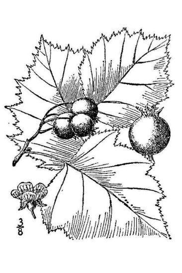 Crataegus mollis (Torr. & A.Gray) Scheele