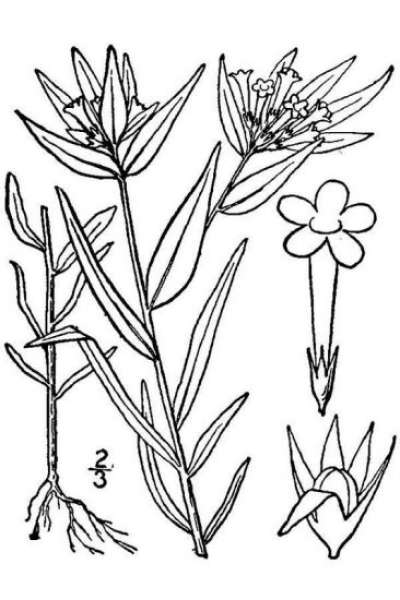 Collomia linearis Nutt.
