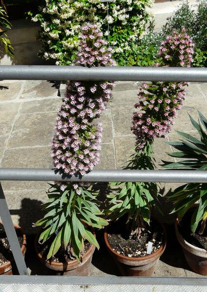 Echium wildpretii x pininana