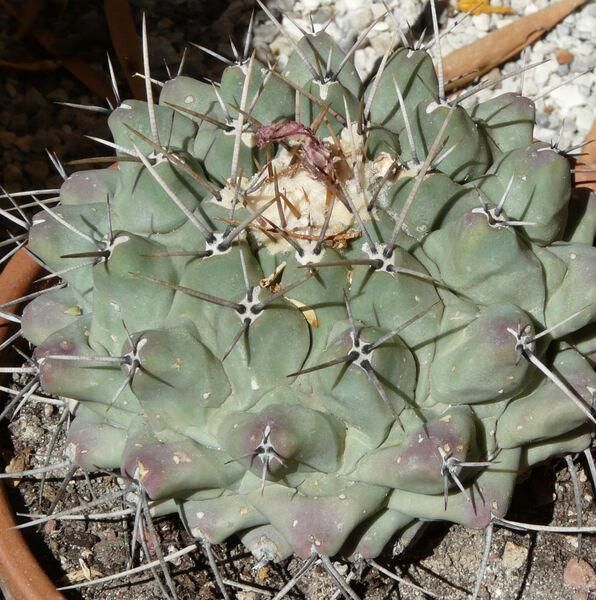 Thelocactus hexaedrophorus (Lem.) Britton & Rose