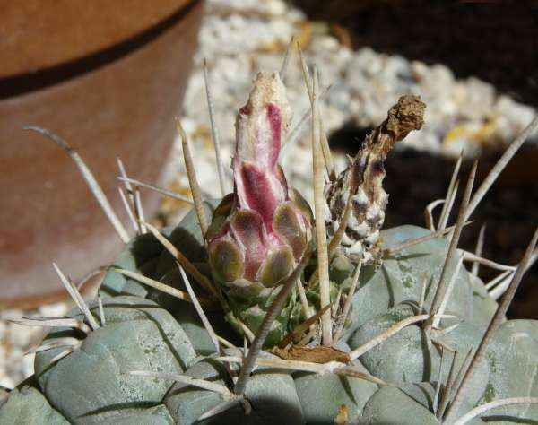 Thelocactus rinconensis (Poselg.) Britton & Rose