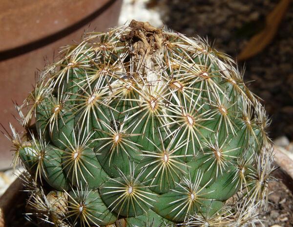 Coryphantha retusa (Pfeiffer) Britton & Rose
