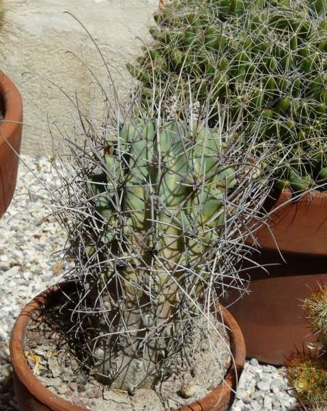Sclerocactus uncinatus (Galeotti) N.P. Taylor subsp. wrightii (Engelm.) N.P.Taylor